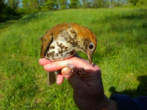 Bashful woodthrush