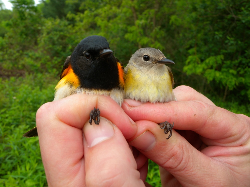 Male and Female American Redstart