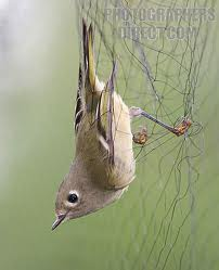 Ruby Crowned Kinglet in net