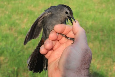 Feisty Gray Catbird biting finger