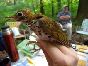 Juvenile woodthrush