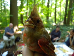MAPS Banding Hatch Year Cardinal