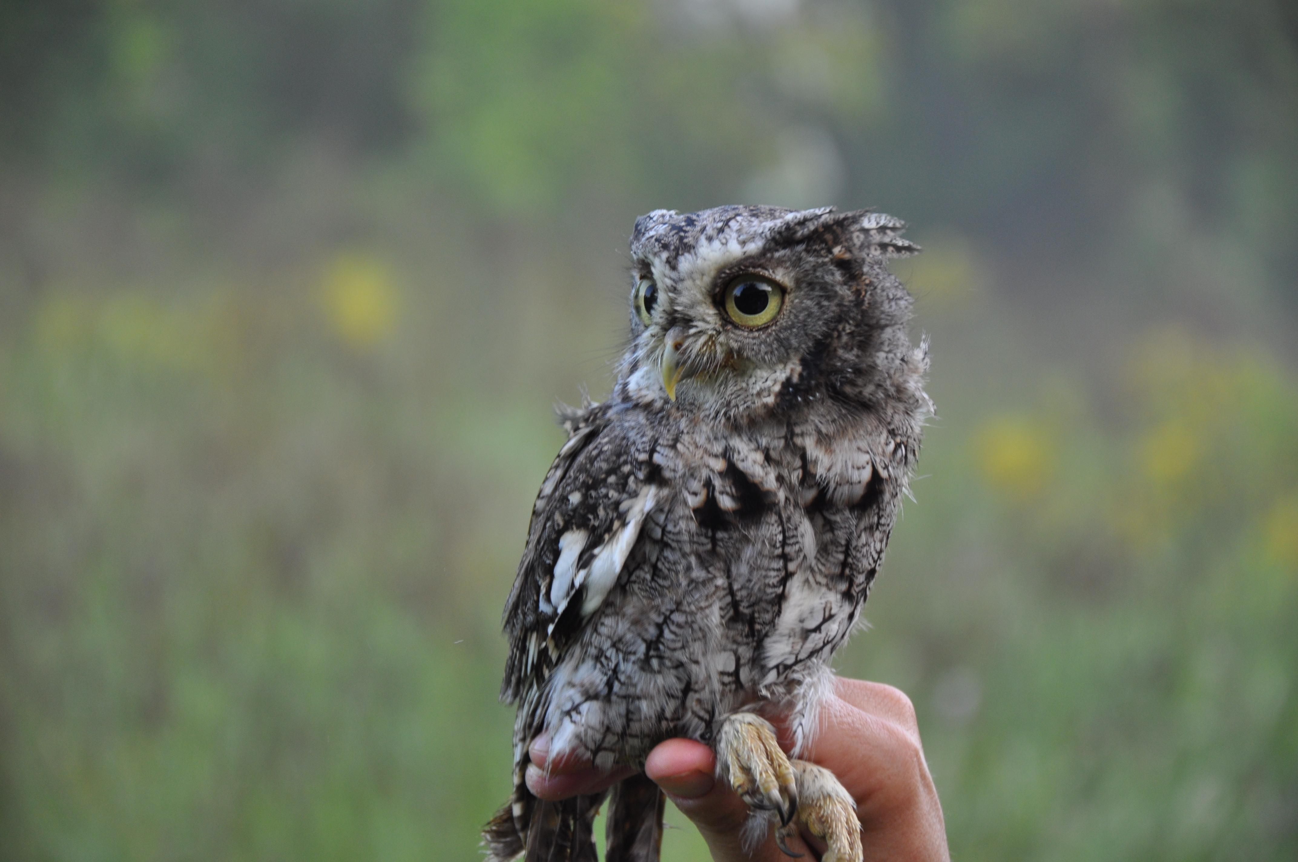 Cute Screech Owl