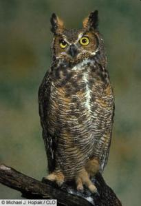 Great Horned Owl (Picture from Cornell Lab of Ornithology)