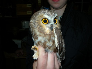 Young female Northern Saw-whet Owl
