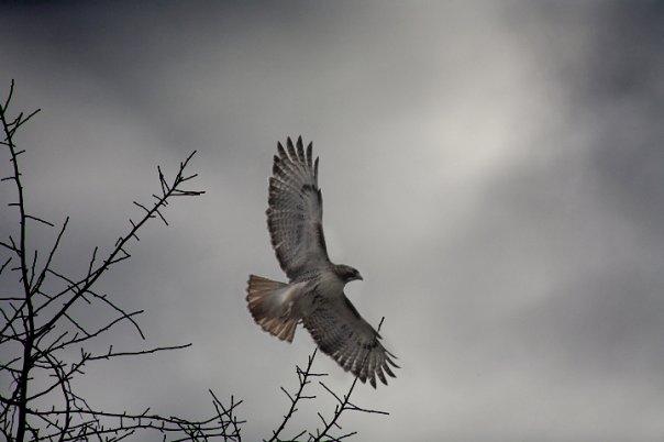 red tailed hawk_dalton portella