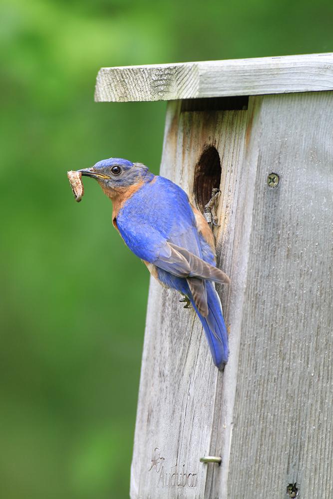eastern bluebird m at nestbox BINNS IMG_7837 copy