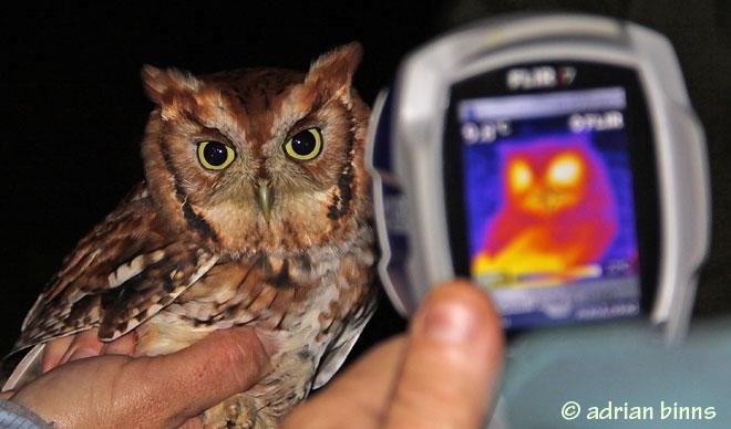 eastern-screech-owl-thermal-vision-BINNS-IMG_1855-copy