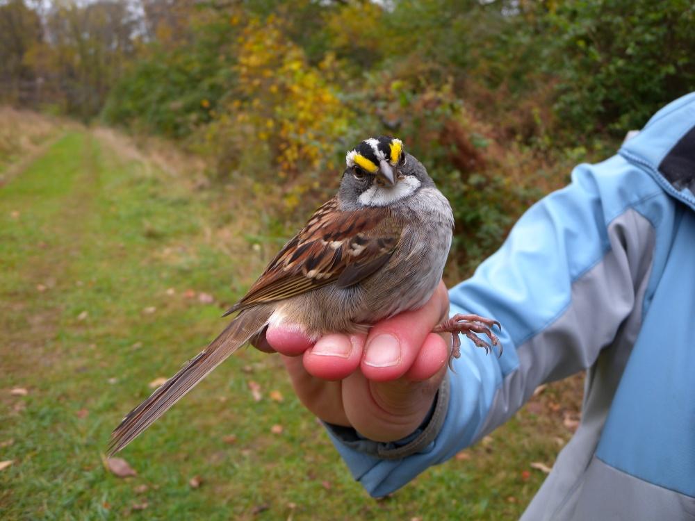 Older White-throated Sparrow recap