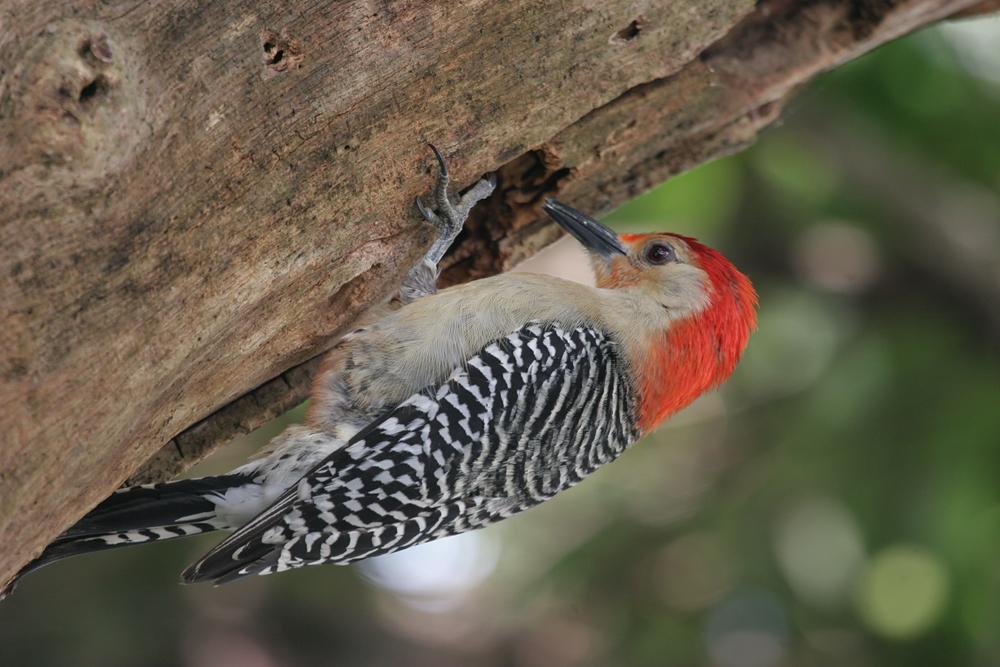 Red-bellied Woodpecker BINNS IMG_7518 copy