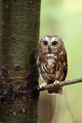 Northern Saw-whet Owl perching on a tree branch