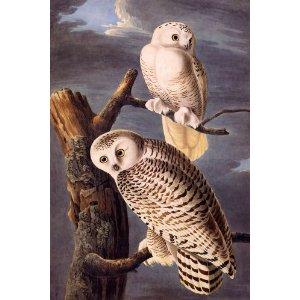 audubon snowy owls