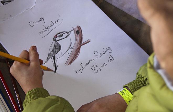 Downy Woodpecker drawing by Emma Seving.  Adrian Binns image.