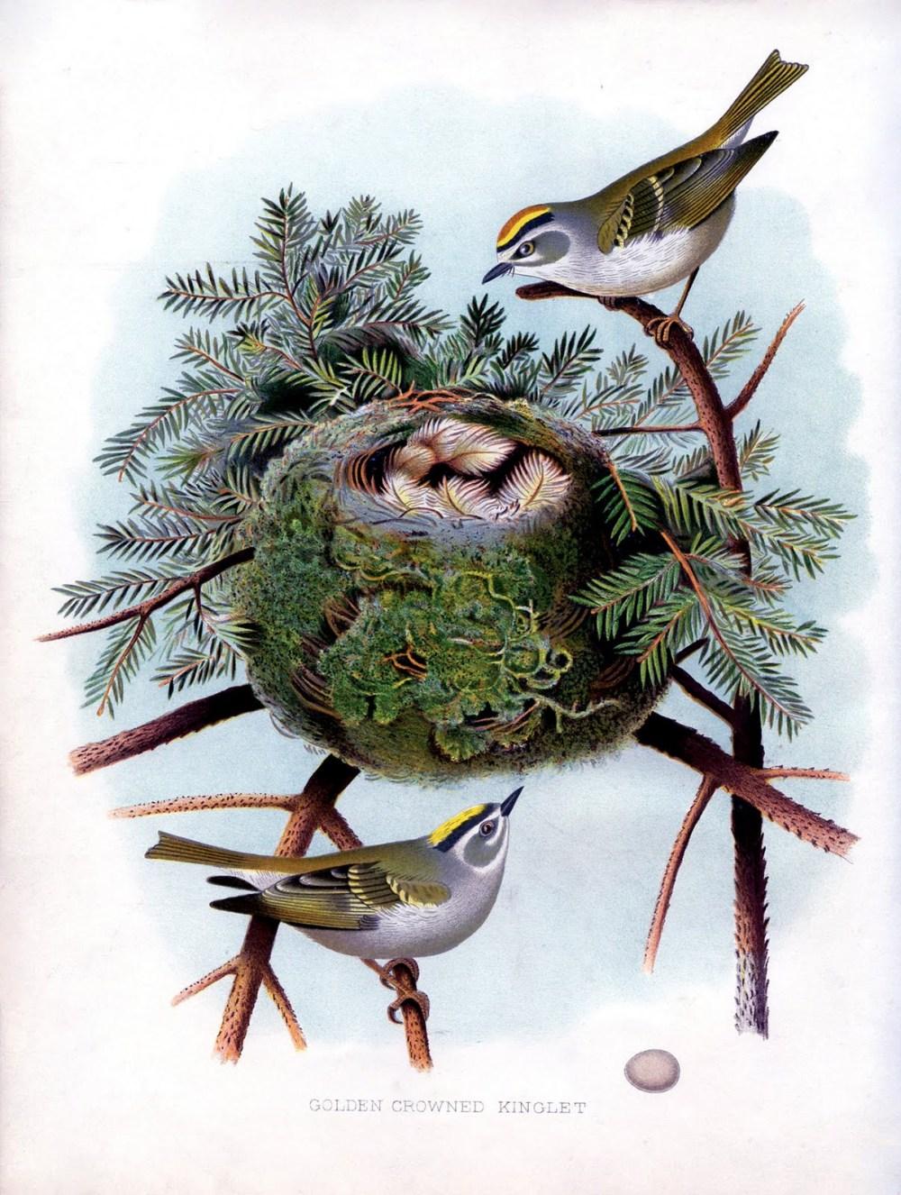 golden crowned kinglet bird nest pine vintage image graphics