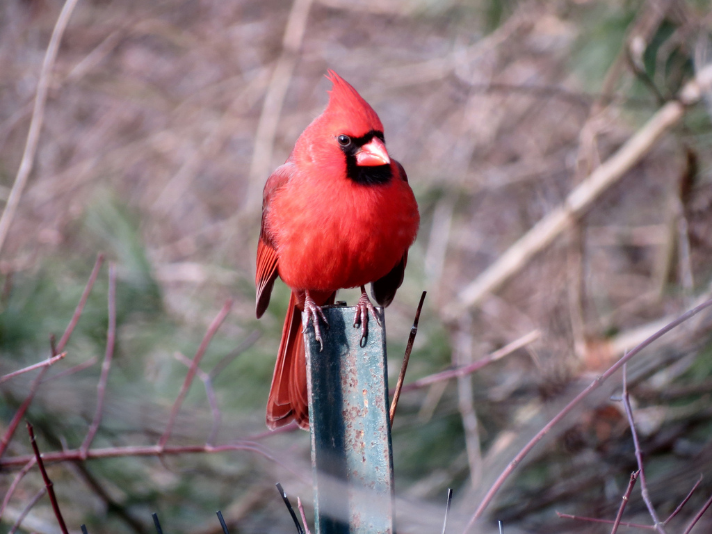 Northern Cardinal.  Photo by Mike Rosengarten