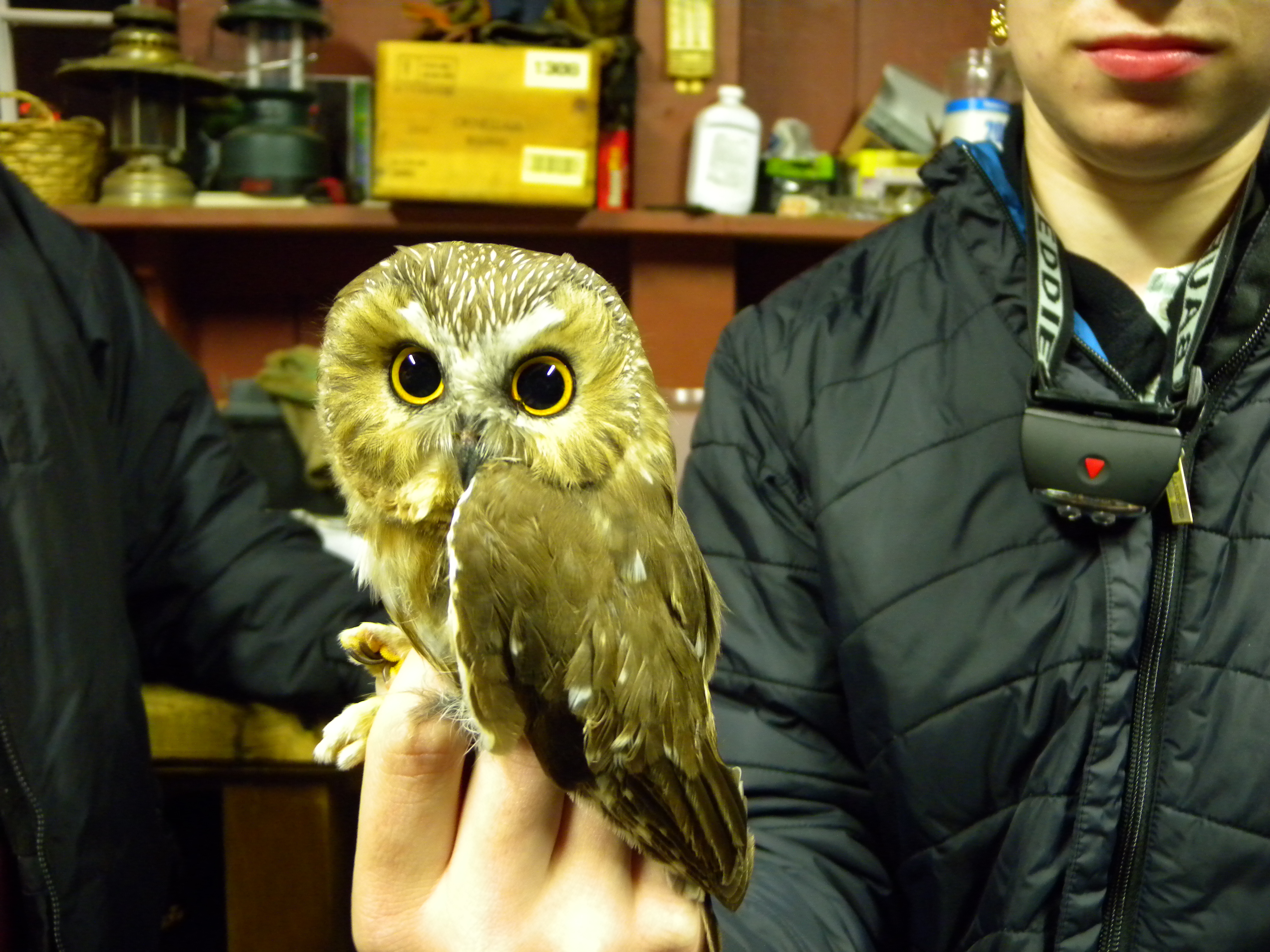 giving thanks for the owls of 2011 willistown conservation trust