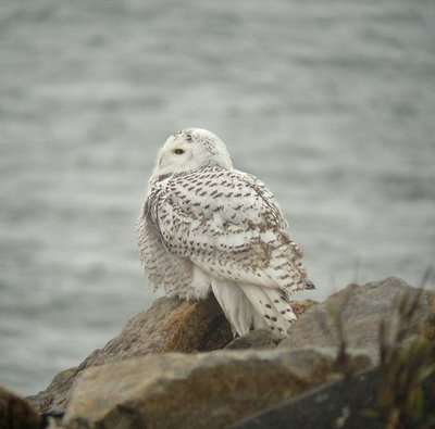 snowy owl at beach