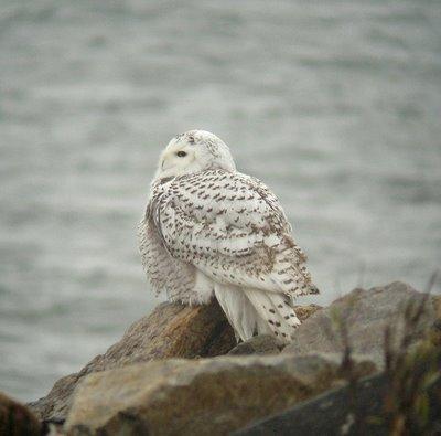 snowy owl at beach