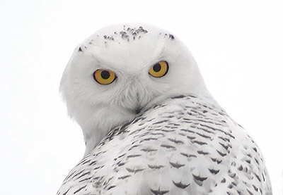 Snowy Owl image © 2005 Michael McDowell