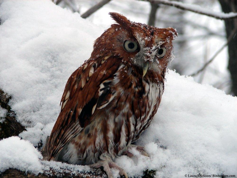 Screech owl. Copyright Laura Erickson
