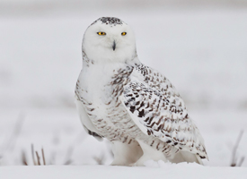"Snowy Owl from Cornell Lab of Ornithology ""All About Birds"" website."