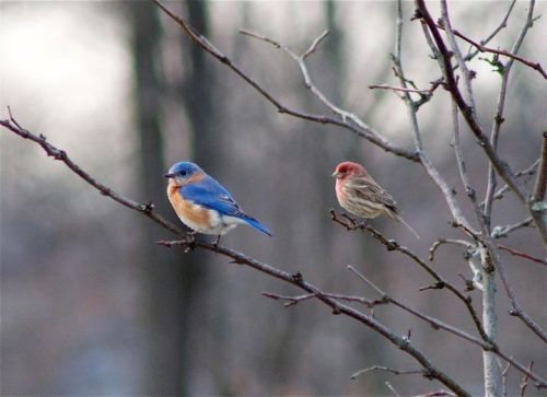Bluebird & House Finch by Stephen Staedtler (PA-Birds)