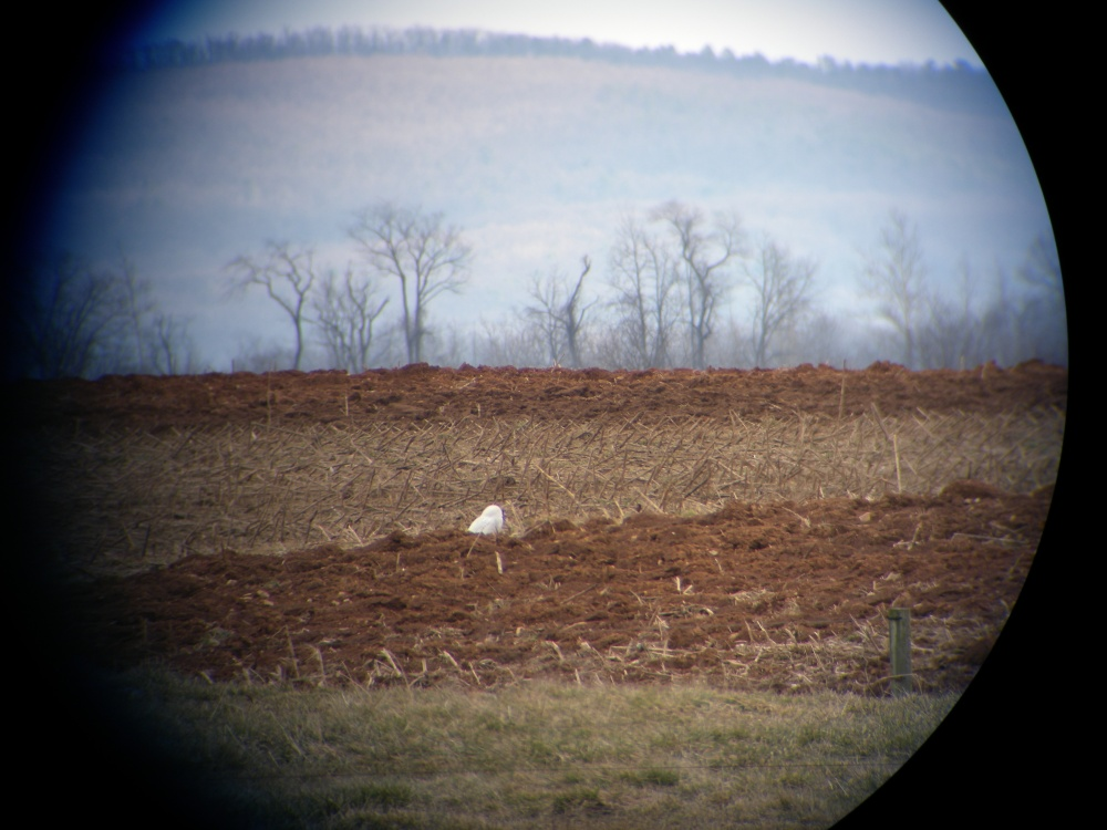 Cumberland County Snowy Owl as viewed through a scope.  Note:  I am an amateur digiscoper!