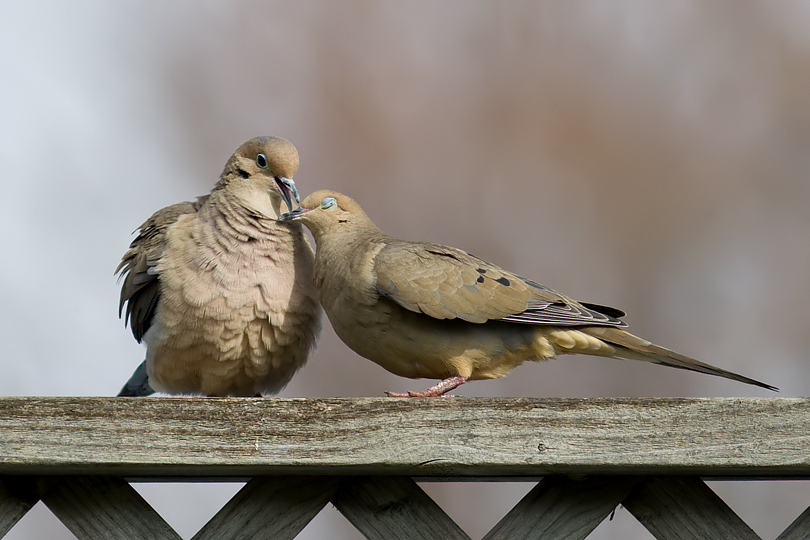 Mourning Doves in love (Photo by Eric on http://my.opera.com/CedarFox/)