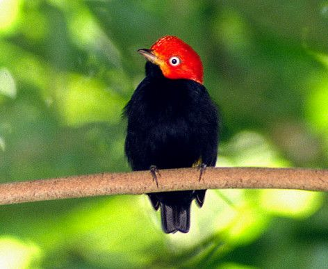 Red-capped Manakin from scienceray.com