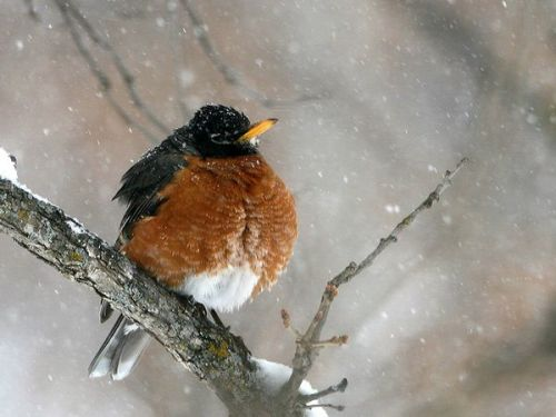 American Robin fluffed up.  Photo by Mark Lewer