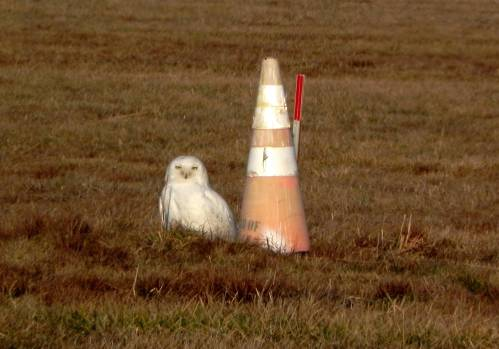 Snowy Owl at NE Air, Philly PA 2-1-12.  Photo by Frank Windfelder