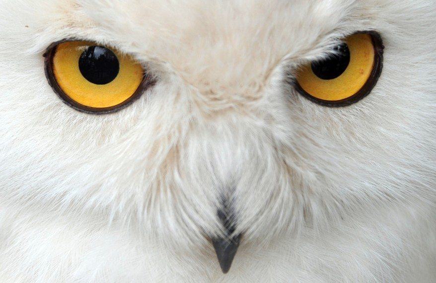 Snowy Owl eyes from Voice of America blog