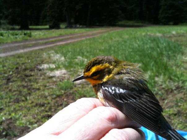 Townsend's Warbler I banded in Washington State near Mt. Rainier.