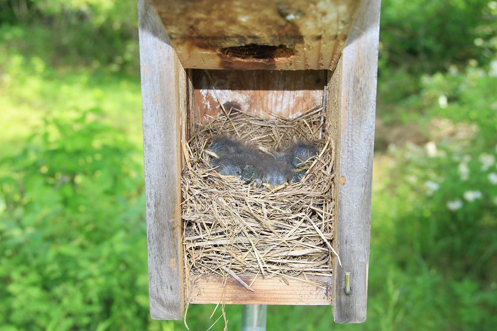 Eastern Bluebird Babies by Adrian Binns