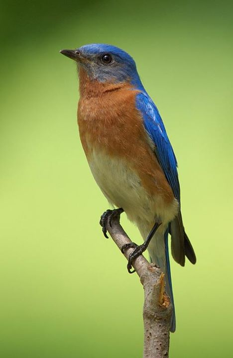 Eastern Bluebird by Jim Strathearn