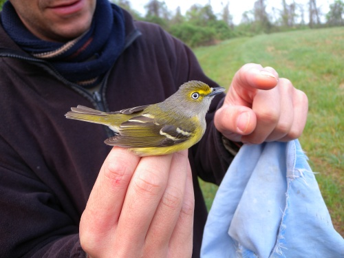 Adult White-eyed Vireo. Spring 2012.  Photo by Blake Goll