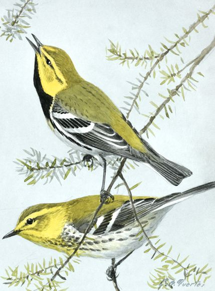 Black-throated Green Warblers by Louis Agassiz Fuertes