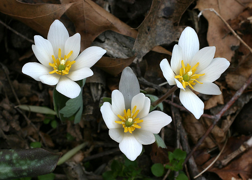 Bloodroot from flowerinfo.org