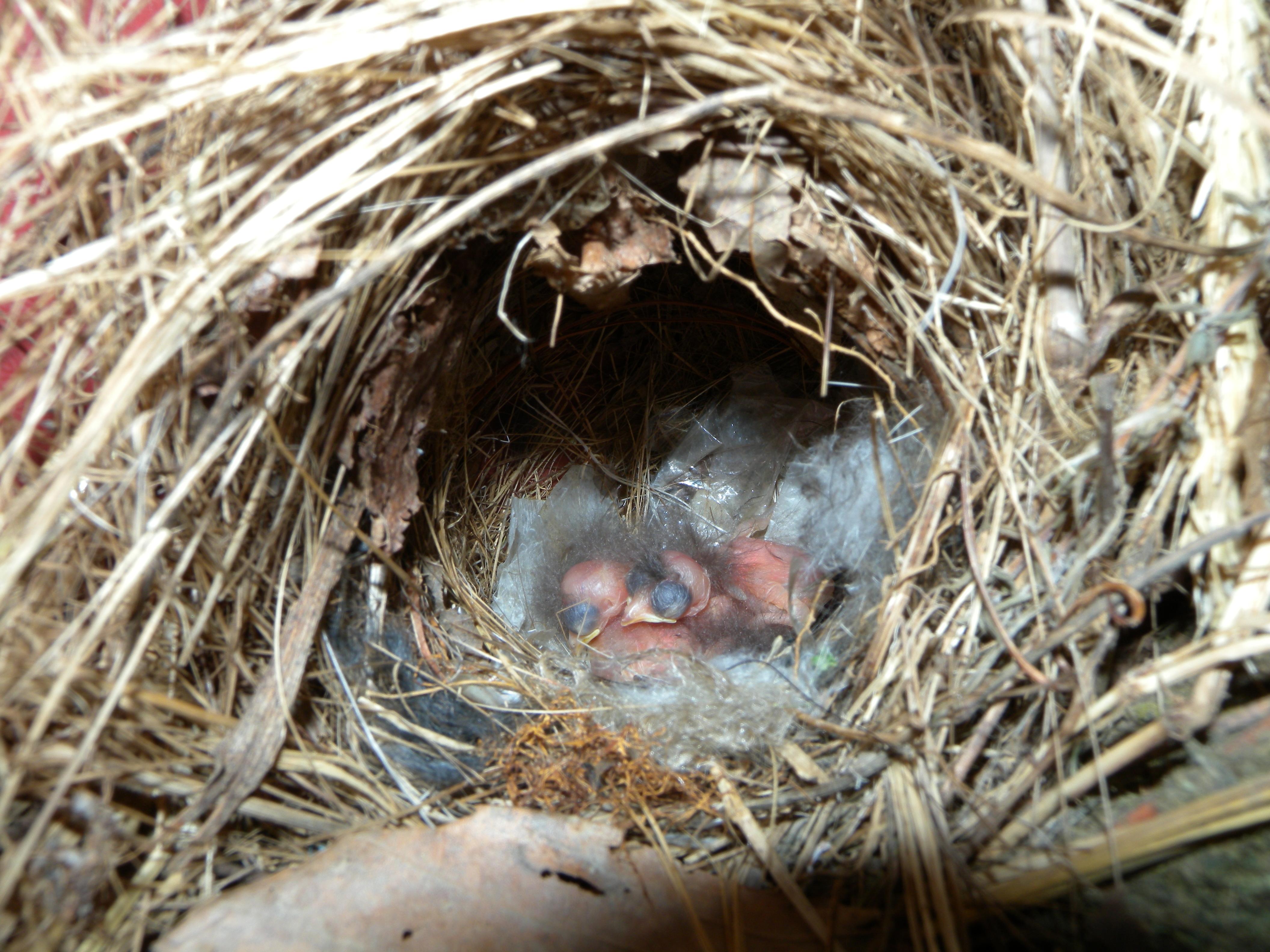 Carolina Wren babies (weed wacker-2012)