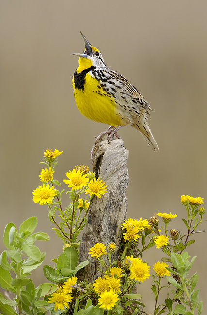 Eastern Meadowlark by Alan Murphy