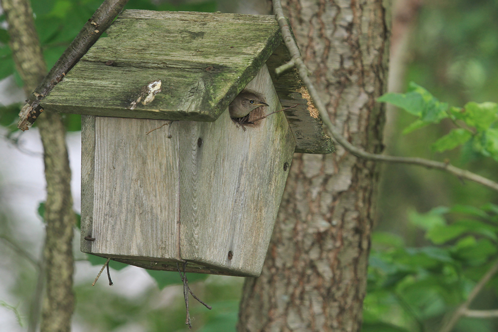 House Wren at nest box by Adrian Binns