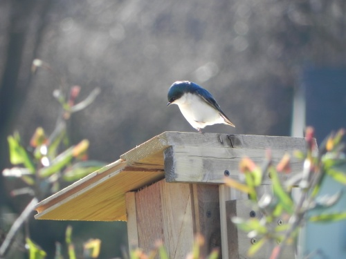 Tree Swallow relaxing on top of his new home.  Photo by Fred de Long