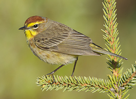 Palm Warbler by Gerrit Vyn (Cornell Lab of Ornithology, All About Birds)