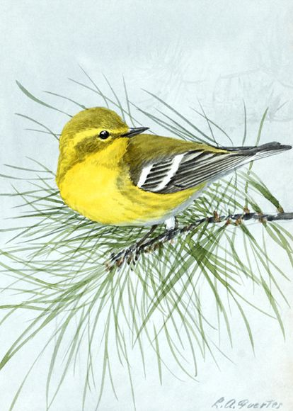 Pine Warbler by Louis Agassiz Fuertes
