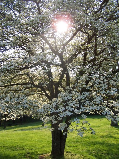 Sunshine through a Dogwood Tree (http://mseagtaann.deviantart.com)