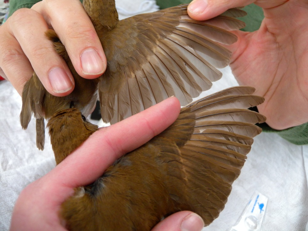 Young (both Second Year) Veery wing comparison.  Photo by Blake Goll