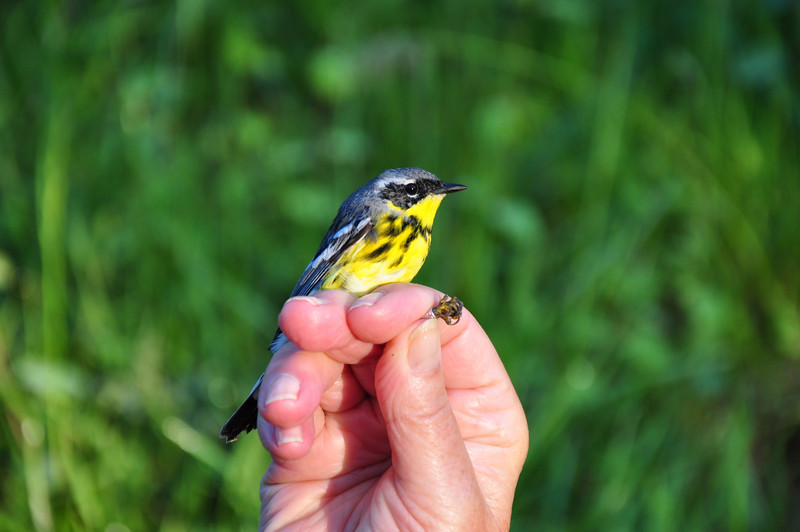Magnolia Warbler.  Photo by Justin Thompson