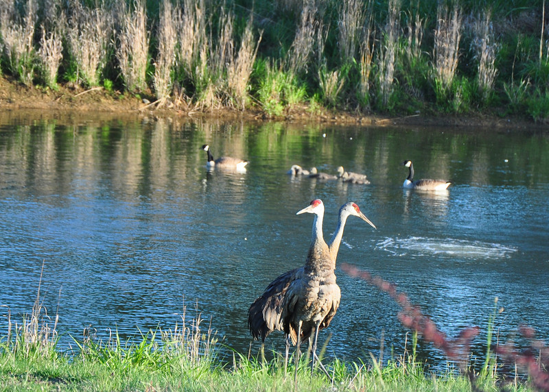 Sandhill Cranes in Willistown May 11 2012 Photo by Justin Thompson