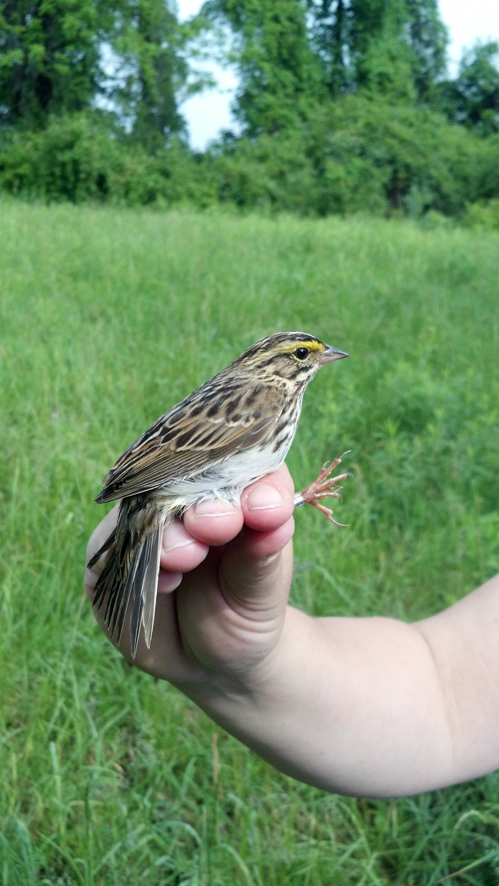 Savannah Sparrow by Brie Brigham