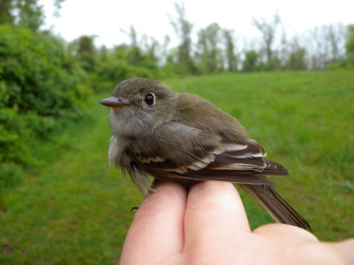 Willow Flycatcher.  Photo by Blake Goll